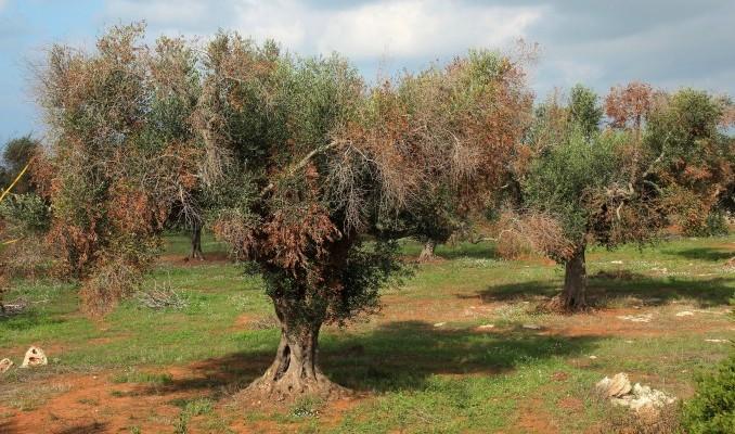 Experto de CSIC aconseja erradicar todas las plantas afectadas por la Xylella Fastidiosa por 'elevado contagio'